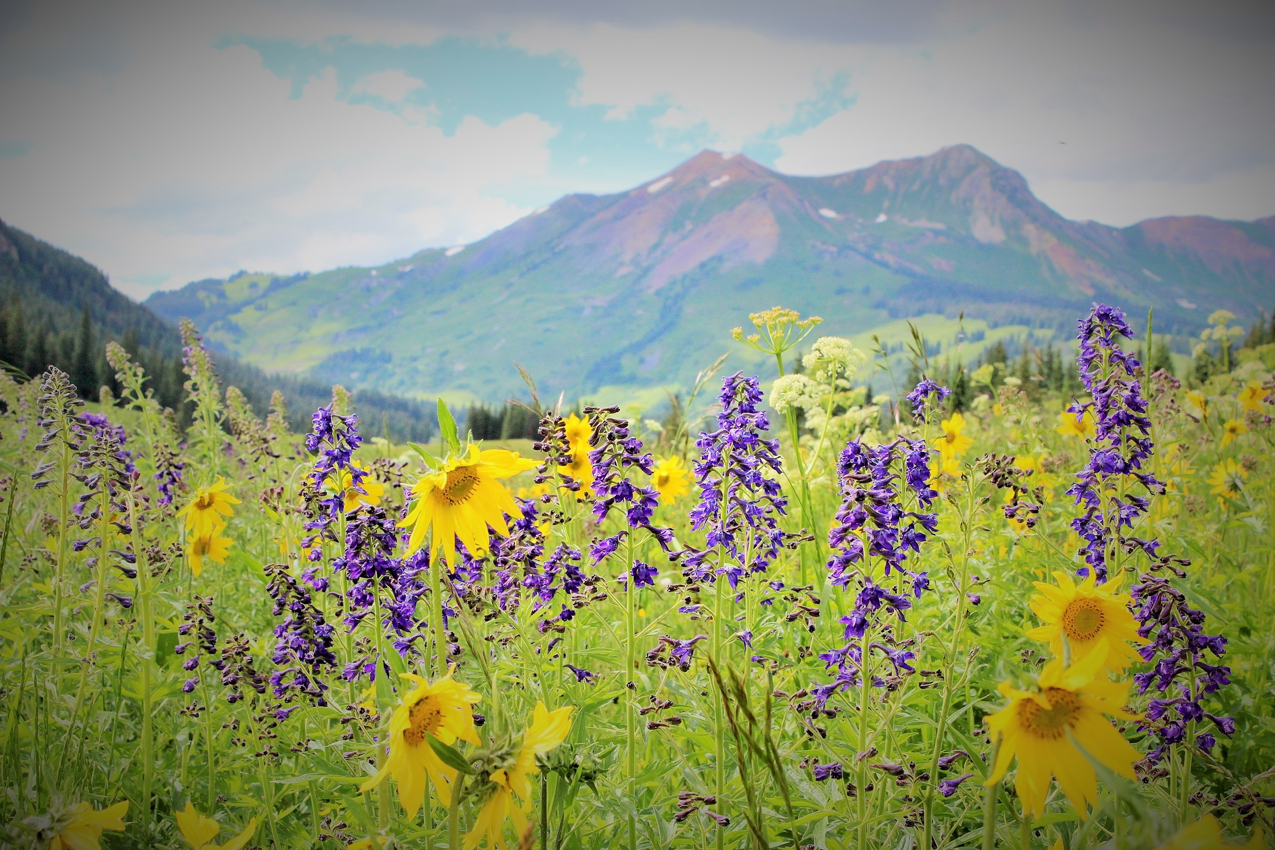 Wildflowers at Crested Butte   thisscatteredlife.com