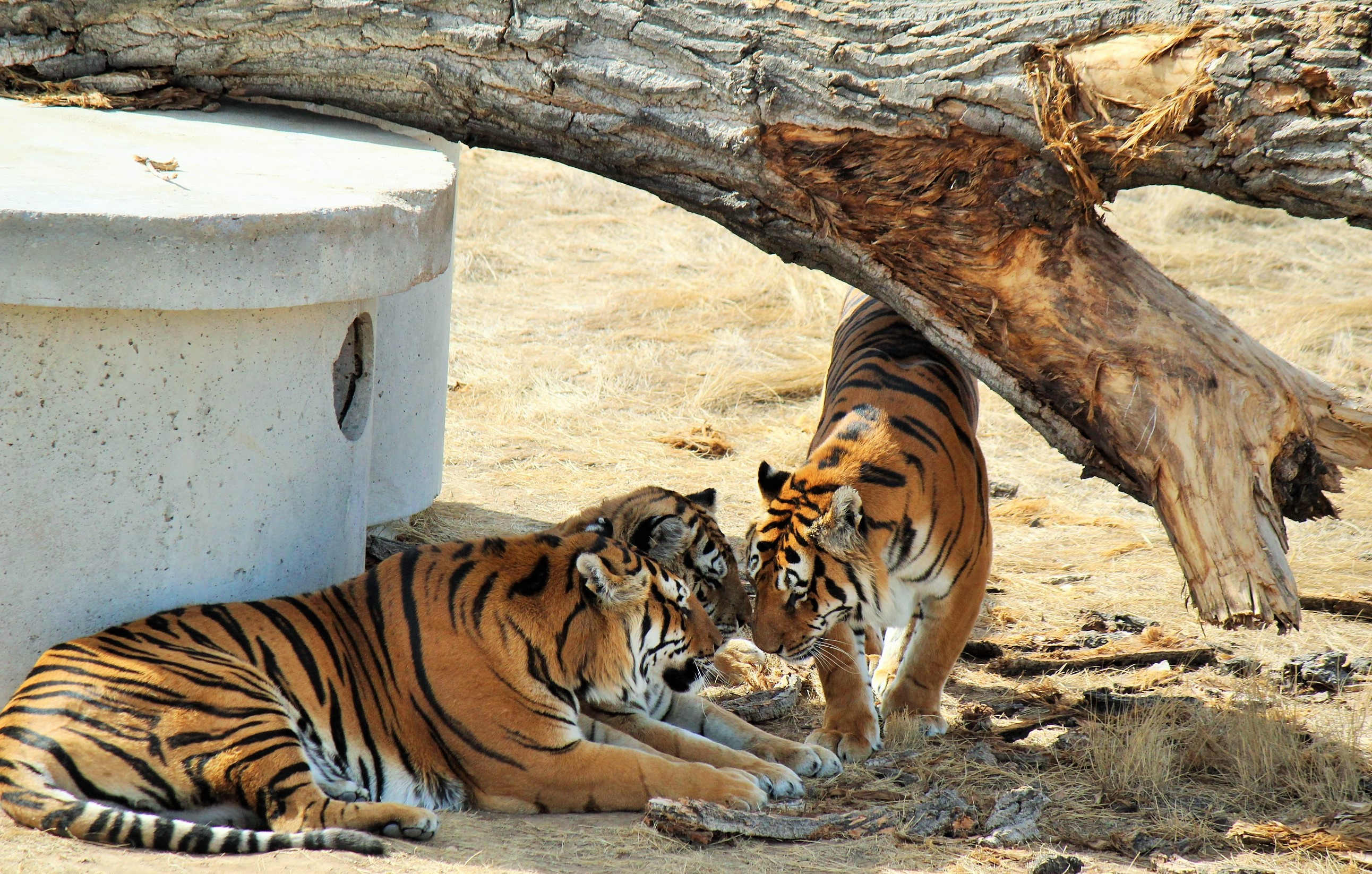 3 gorgeous tigers get up close and personal.